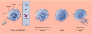 مراحل فرایند NETosis از برخورد با عامل بیماری زا (پاتوژن) تا خروج ماده ژنتیکی و تشکیل شبکه چسبناک